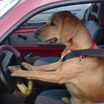 dogs_drive-1